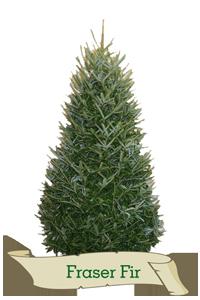 XMas Trees Glasgow Fraser Fir