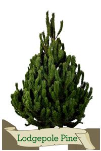 XMas Trees Glasgow Lodegepole Pine