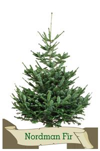 XMas Trees Glasgow Nordman Fir